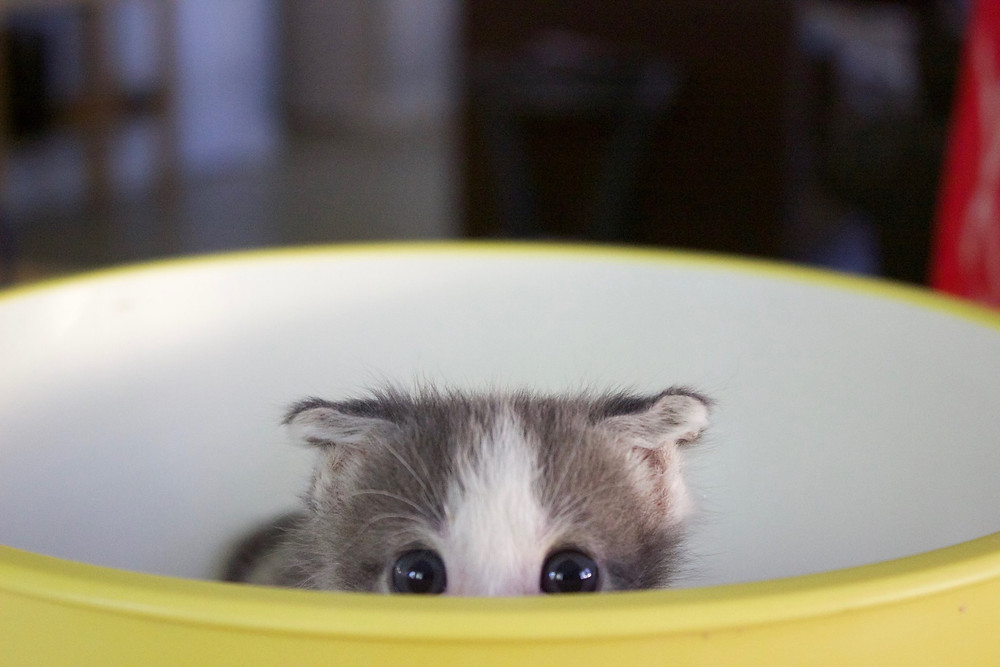 A kitten rescued at APA!'s bottle baby nursery.