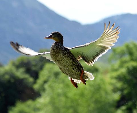 Eend dierenarts vogelarts