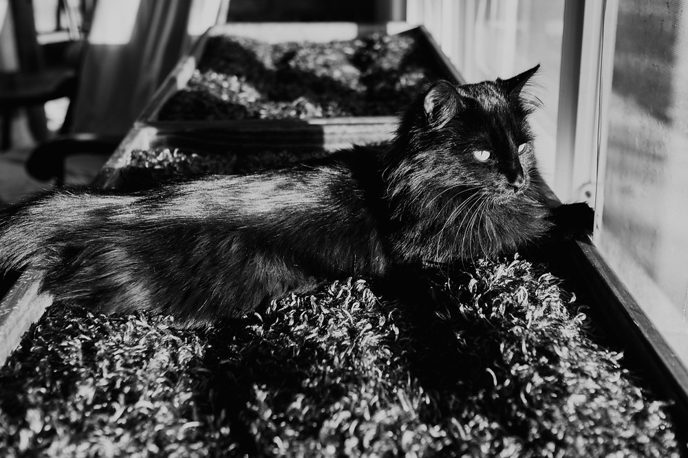 Black and white of cat in window in Metro Detroit. Photographed by Nicole Leanne Photography.