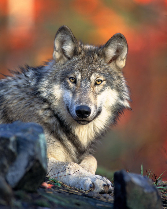 Front_view_of_a_resting_Canis_lupus_ssp.