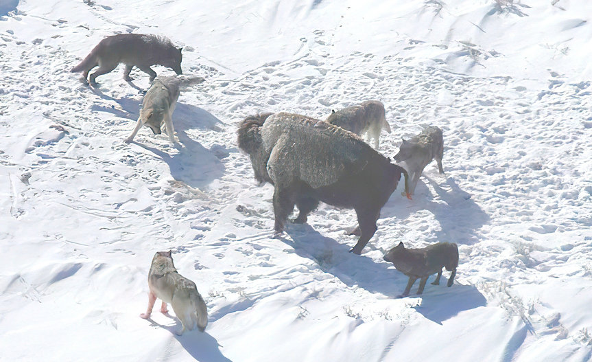 Canis_lupus_pack_surrounding_Bison-gigap
