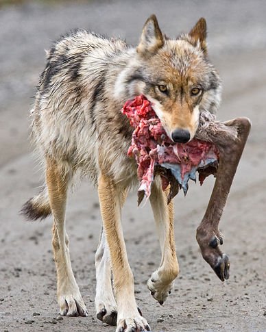 Wolf_with_Caribou_Hindquarter.jpg