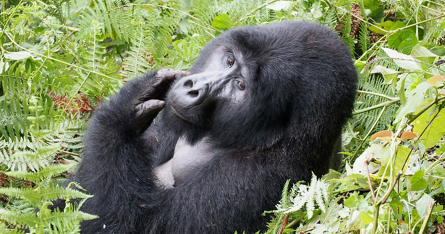GorillaScratching.jpg
