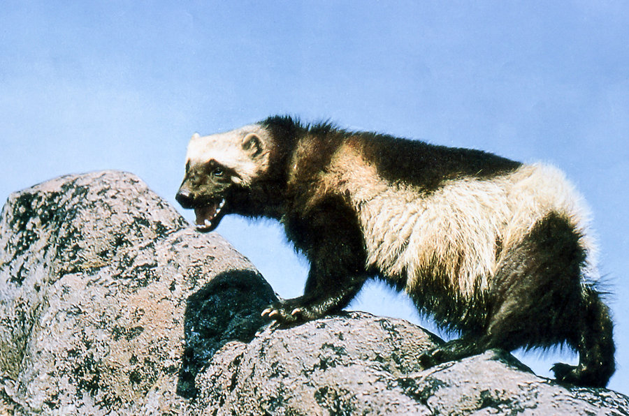 Wolverine_on_rock.jpg