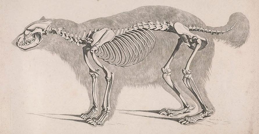 Die_vergleichende_Osteologie_(1821)_Gulo