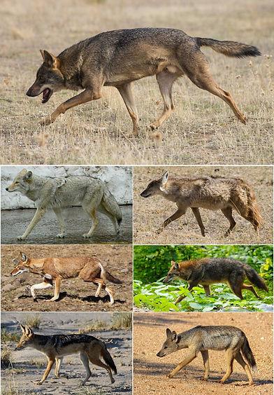 Canis.jpg