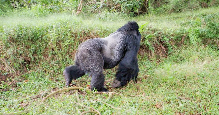 GorillaSilverbackwalking_edited.jpg