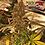 Thumbnail: Sangria Punch x Screaming Eagle