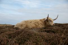 Mammals_MG_Highland Cattle.JPG