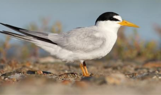 Least%20tern_edited.png