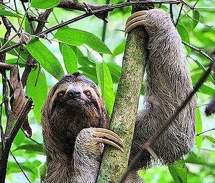 sloth manuel antonio national park.jpg