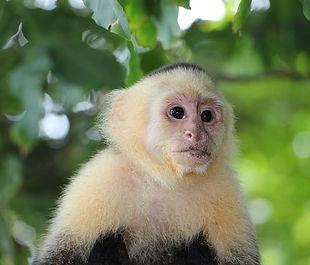 capuchin-monkey-2759768_640.jpg