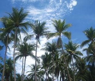 coconut-trees-1644929_640.jpg