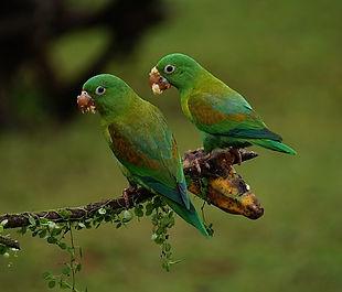 orange-chinned-parrots-1586951_640.jpg