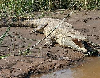 crocodile del Chapas.jpg