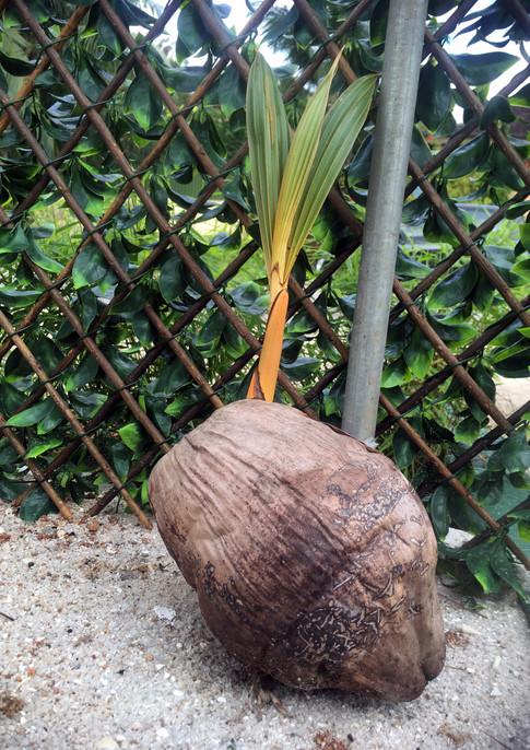 real koko zerm