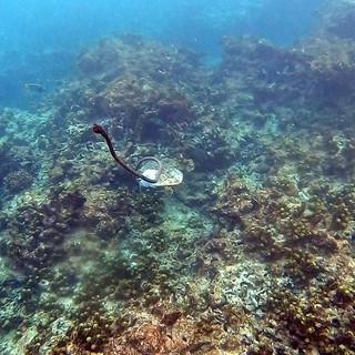 Hawksbill on reef