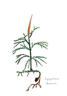 Lycopodium obscurum