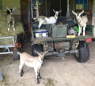goat kids on the farm equipment