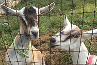 two alpine goats