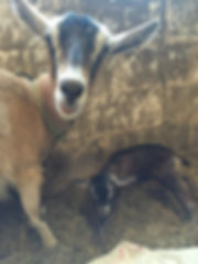 Proud mother goat and newborn kid