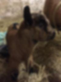 newborn goat kid