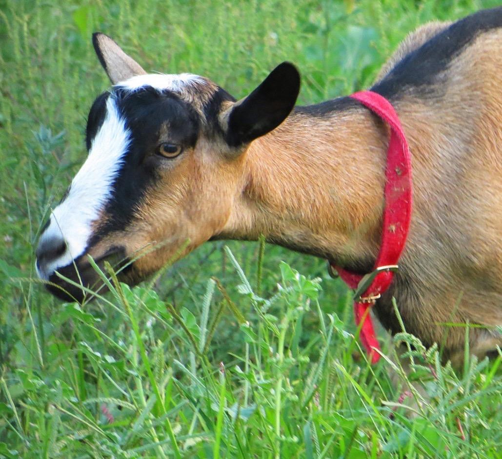 goat 6_edited_edited_edited_edited
