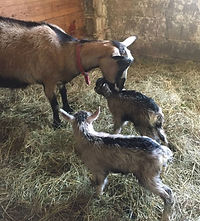 Mother goat cleaning off newborn kids