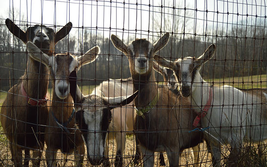 Five alpine goats staring at the camera through the fence