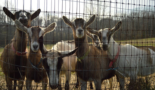 "Some of ""the girls,"" our dairy goat herd"
