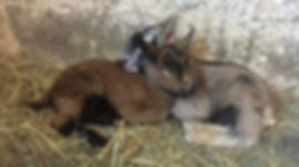 two goat kids huddling together