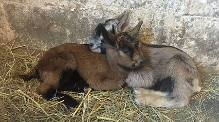 two goat kids huddling together
