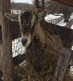 Goat stuck in the hay holder