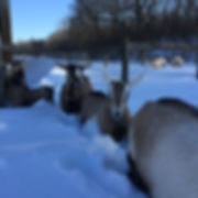 line of alpine goats in the snow