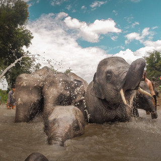 Elphants bathing in a sanctury in Thailand