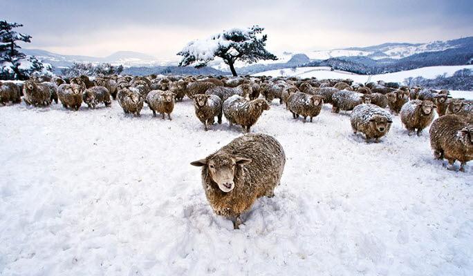 daegwallyeong-sheep-ranch-4