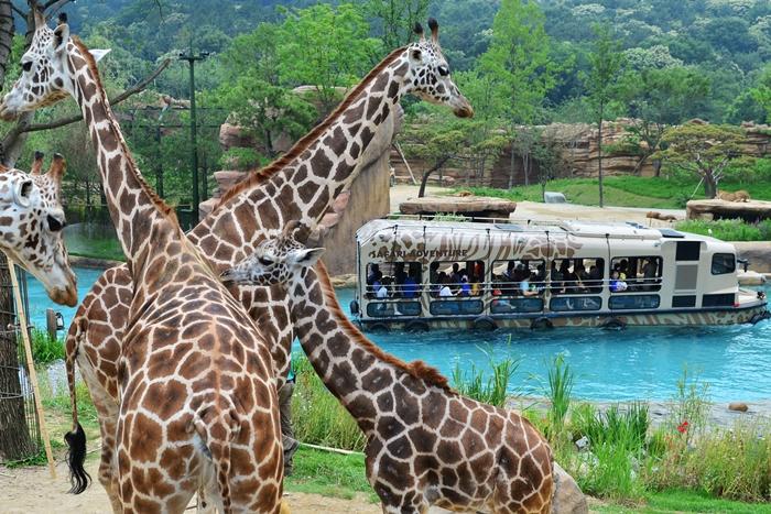 everland girafe