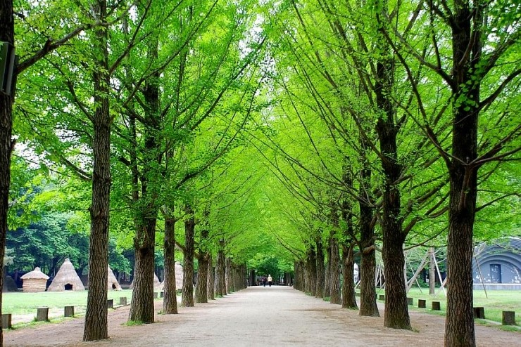 Nami Island Trees Lined Road