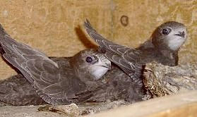 Swifts in the nest