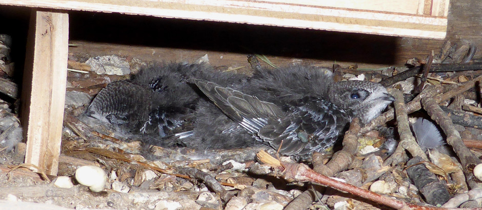 Unexpected nest sites at the Hospital of St Cross