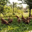The Green Farm Hens