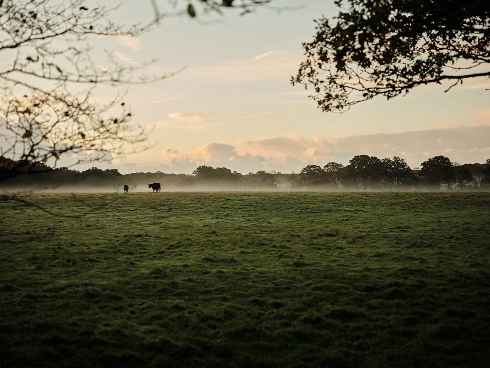Cows in the Field.jpg