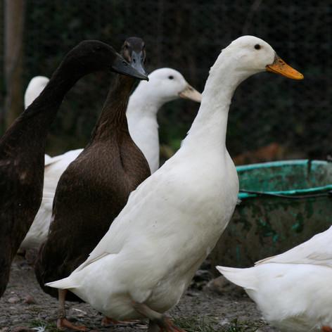 Hens & Ducks