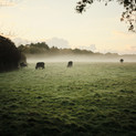 Misty cow pasture at Green Farm