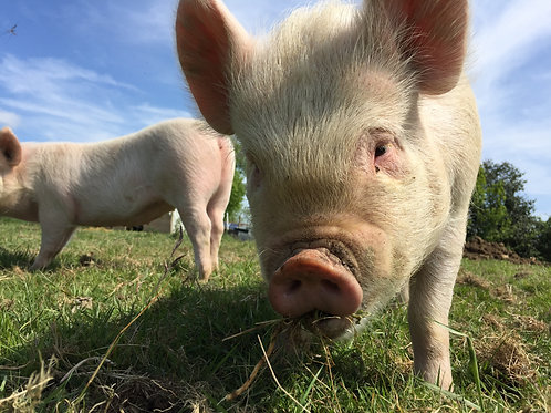 Our Freerange Pork - see details for what's available