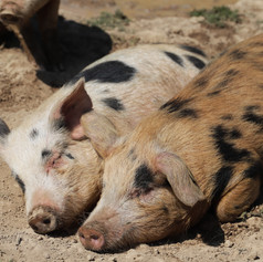 Snoozing Pigs