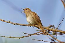 Common_Nightingale_(Luscinia_megarhyncho