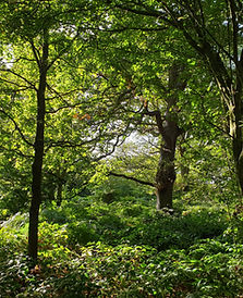ancient oaks and woodlands.jpg