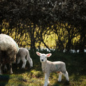 Our sheep and lambs