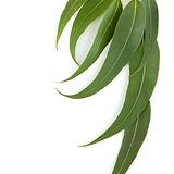 foglie di gomma